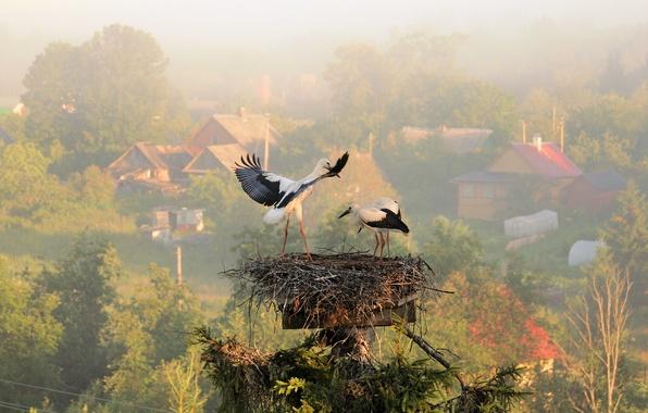 Picture summer, fog, morning, village, socket, storks