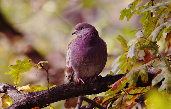 Picture autumn, leaves, birds, bird, dove, branch, oak