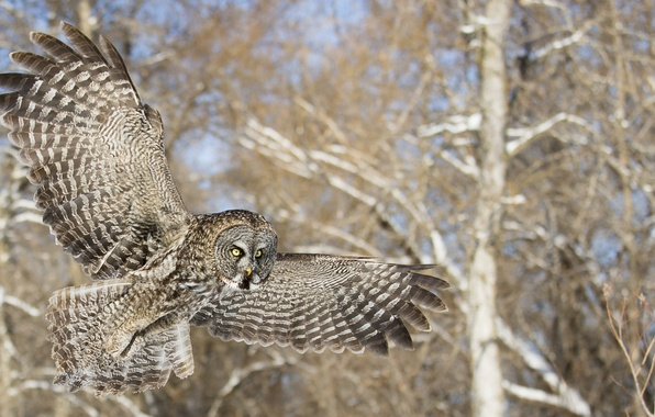 Picture forest, trees, owl, bird, flight