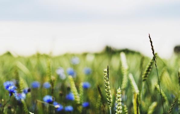 Picture wheat, field, macro, flowers, blue, background, widescreen, Wallpaper, field, rye, blur, spikelets, wallpaper, ears, flowers, …