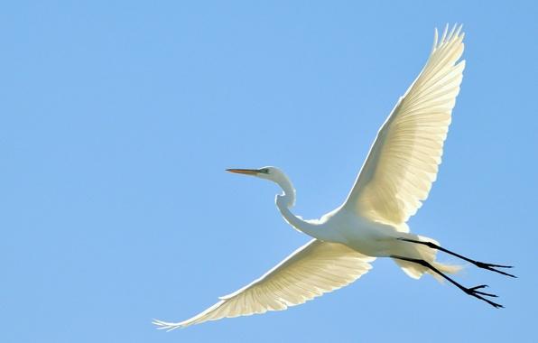 Picture the sky, flight, bird, wings, beak, stork, Heron