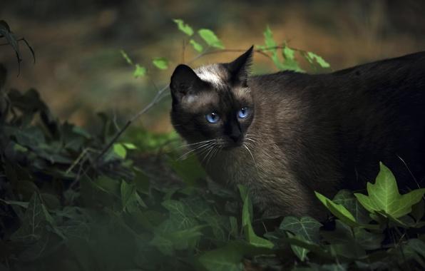Picture animals, cat, Siamese