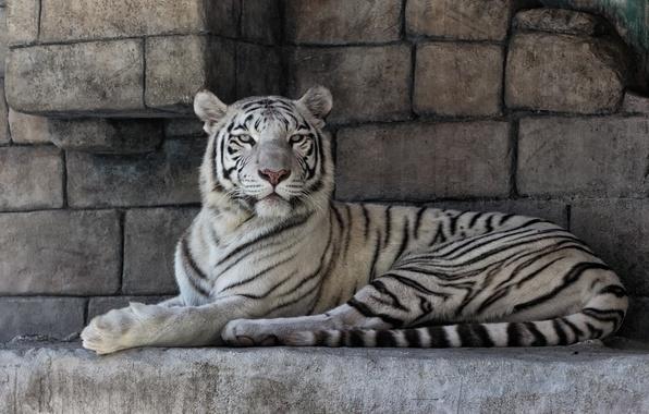 Picture cat, stones, white tiger