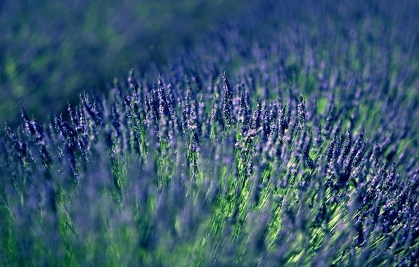 Picture lilac, lavender, lavender