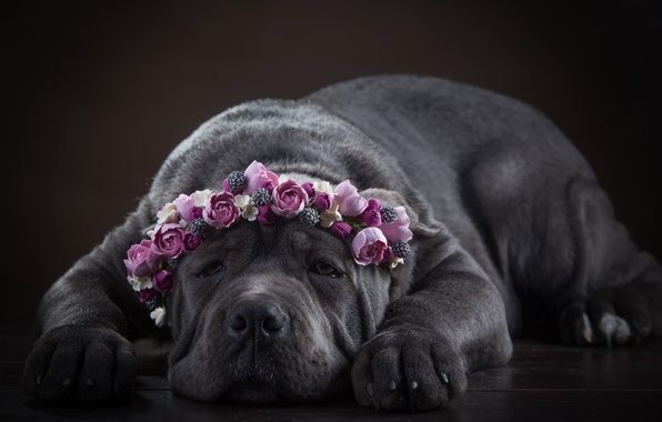 Picture face, flowers, dog, wreath, Cane Corso