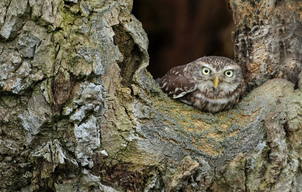 Picture tree, owl, bird, bark, Peeps, owlet