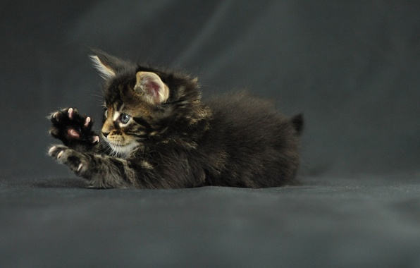Picture cat, kitty, legs, claws, kitten, maine coon, Funny cat, Maine Coon