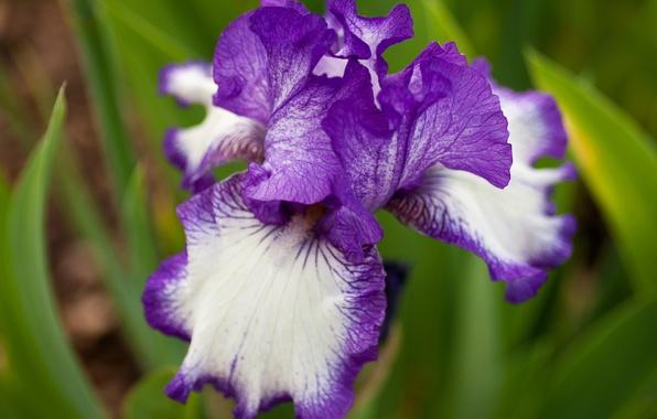 Picture flower, summer, macro, iris, white and purple