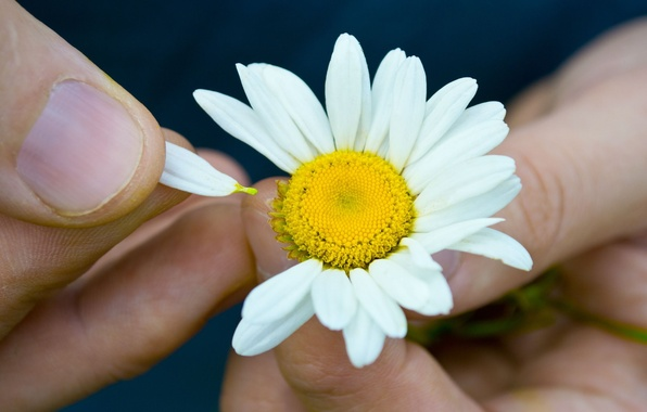 Picture girl, flowers, background, widescreen, Wallpaper, hands, Daisy, wallpaper, flowers, widescreen, background, full screen, HD wallpapers, …
