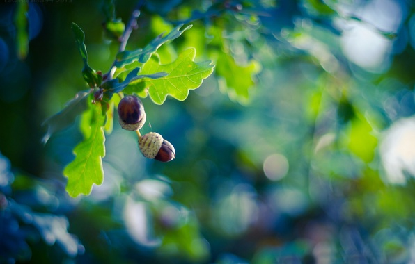 Picture leaves, branches, glare, background, tree, fruit, acorns, oak