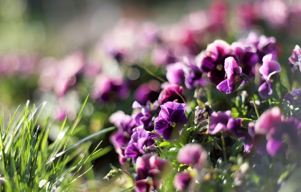 Picture greens, grass, rays, light, flowers, nature, glare, plants, spring, blur, purple, Pansy, violet