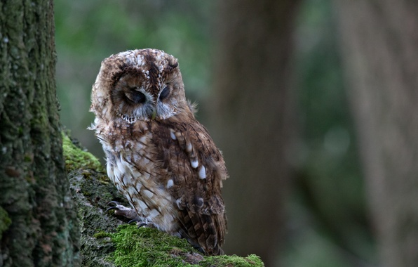 Picture tree, owl, bird, moss, sleep, branch
