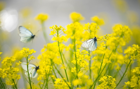 Picture butterfly, flowers, yellow, Insects, the cabbage