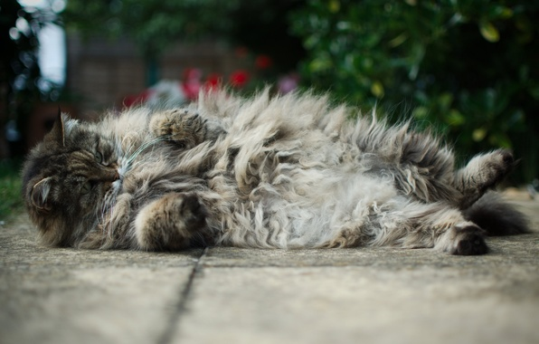 Picture cat, asphalt, fluffy, Tomcat, Kote, lying, thick