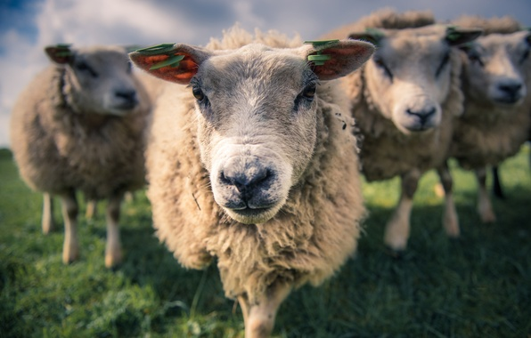 Picture sheep, spring, morning, Meadow