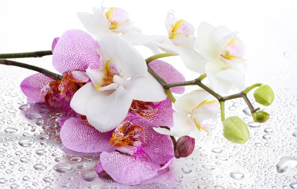 Picture flower, water, drops, background, shadow, petals, stem, pink, white, Orchid