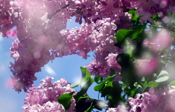 Picture table, Wallpaper, spring, lilac, the desktop