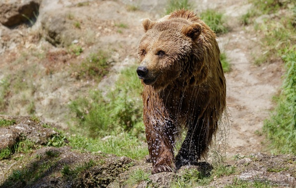 Picture squirt, wet, bear