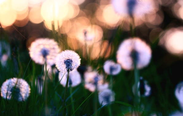 Picture leaves, flowers, nature, background, Wallpaper, glade, plants, blur, weed, dandelions, flowering, wallpapers