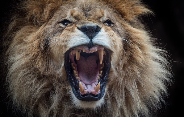 Picture face, Leo, mouth, mane, the king of beasts, fangs, fan of samosas
