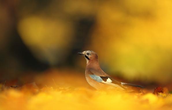 Picture autumn, leaves, bird, yellow, fallen, Jay