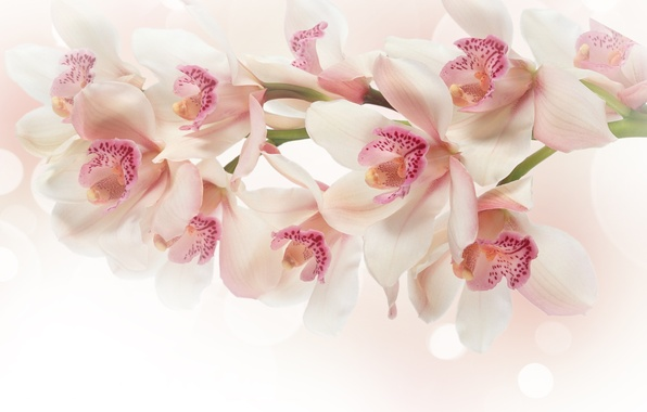 Picture flowers, branch, pink, white, Orchid