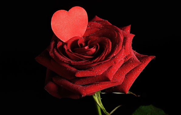 Picture love, flowers, roses, petals, valentine's day