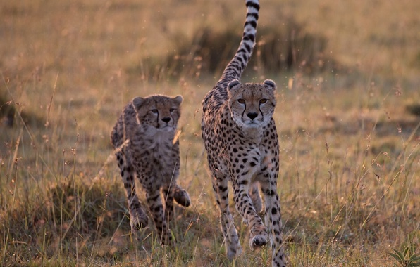 Picture Savannah, wild cats, cheetahs, catch-up