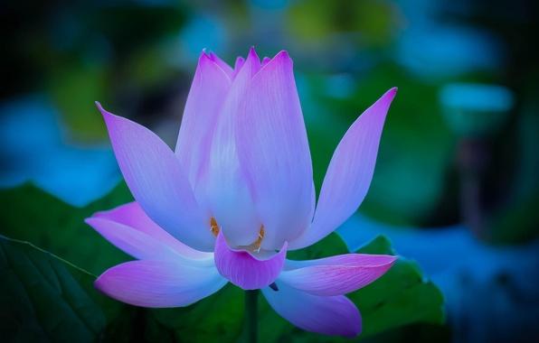 Picture tenderness, petals, Lotus