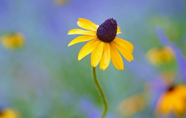Picture flower, yellow, background, rudbeckia