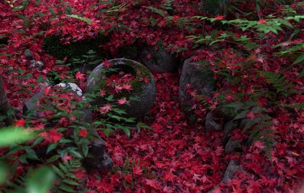 Picture autumn, nature, stones, foliage, moss, Japan, fern, Kyoto, maple Japanese, violatango photography