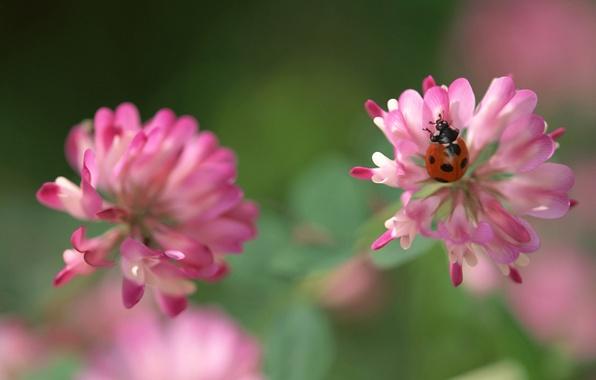 Picture flower, green, pink, ladybug, clover, bug