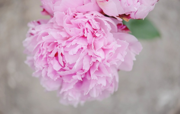 Picture flower, petals, pink, peony