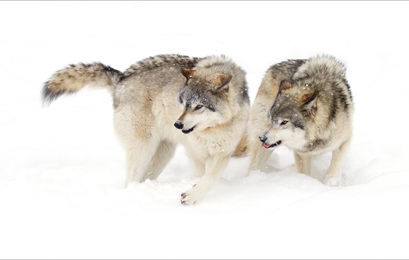 Picture winter, animals, pair, wolves
