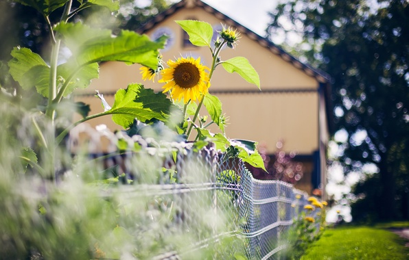 Picture summer, house, the fence, sunflower