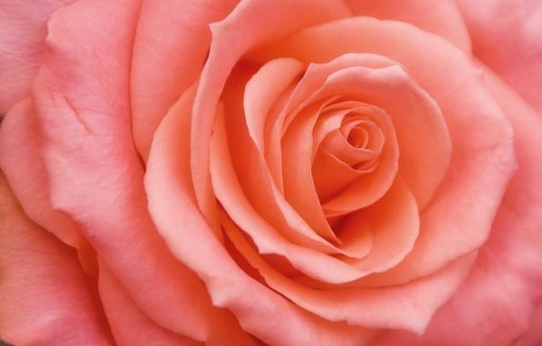 Picture flower, pink, rose, petals, Bud