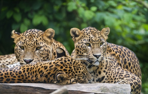 Picture cats, leopards, Trinity, ©Tambako The Jaguar