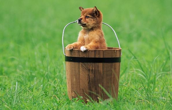 Picture grass, look, bucket, puppy