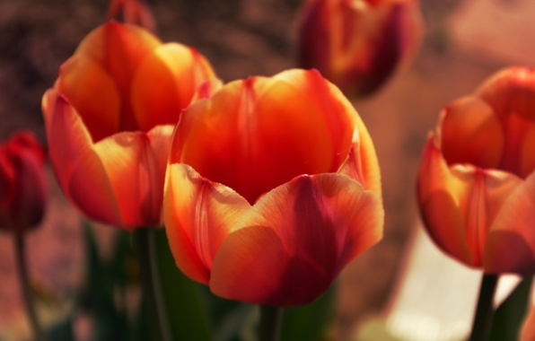 Picture Macro, Flowers, Nature, Spring, Leaves, Tulips, Buds, Petals, Plants
