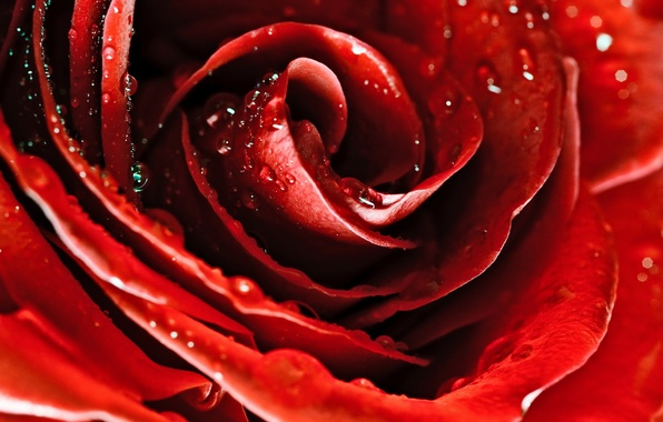 Picture flower, drops, macro, flowers, Rosa, rose, petals, red