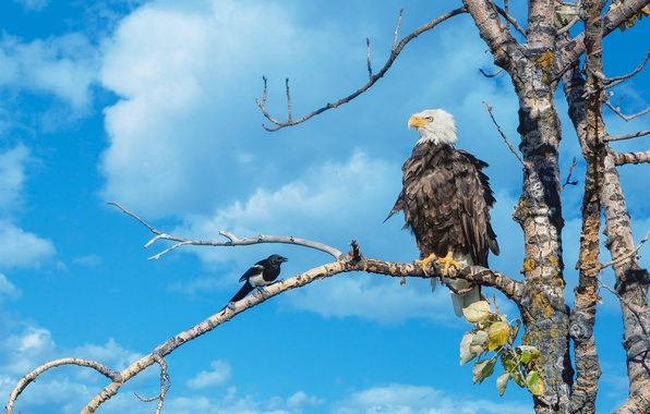 Picture the sky, tree, bird, branch, bald eagle, forty
