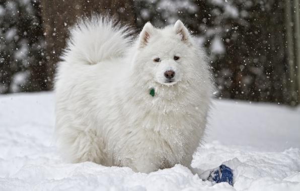 Picture winter, snow, dog, white