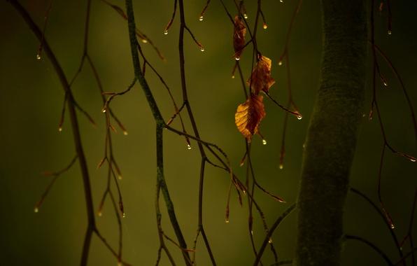 Picture autumn, drops, macro, foliage, branch
