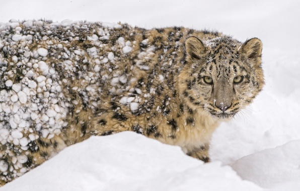 Picture winter, face, snow, predator, spot, fur, IRBIS, snow leopard, cub, wild cat, zoo, young, snow …