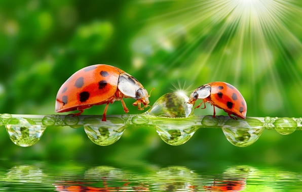 Picture greens, water, drops, nature, the rays of the sun, ladybugs, a blade of grass