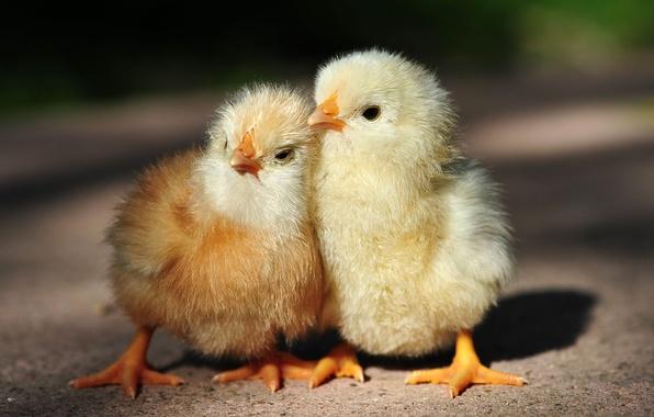 Picture pair, kids, chicken