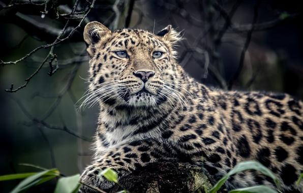 Picture animal, predator, leopard