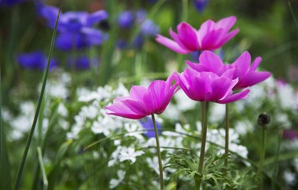 Picture macro, Flowers, petals, blur, pink, white, blue