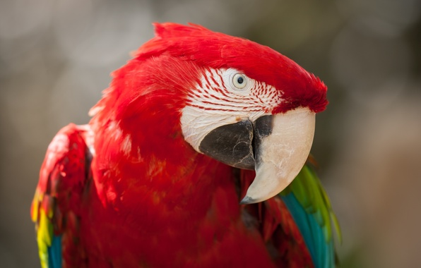 Picture bird, parrot, Ara