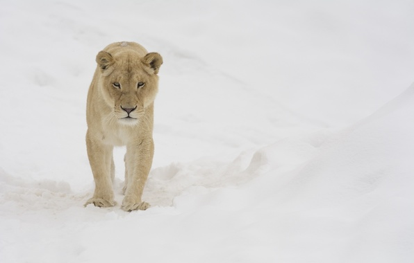 Picture winter, face, snow, predator, walk, lioness, wild cat, zoo